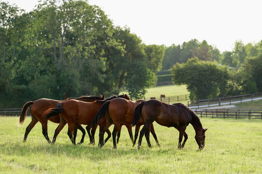 Yearlings in the field