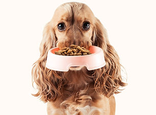 Cocker Spaniel with food