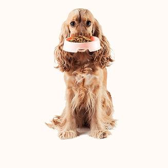 Cocker Spaniel carrying a bowlof grain free dog food