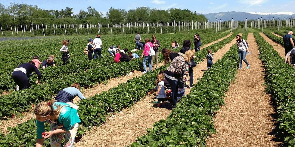Raccolta frutti rossi e picnic in campagna (17:00)