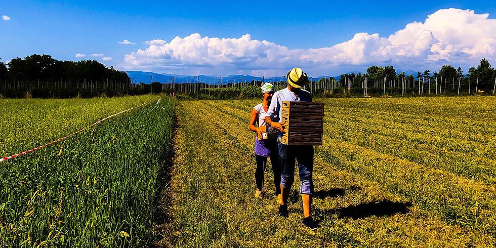 Vendemmia e picnic in campagna (10:30)