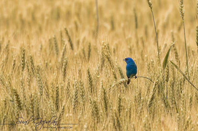 Sunil bird on wheat.jpg