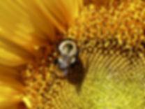 Bee on Flower Jack Sherman credit final.
