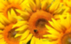 Suzanne Tucker - sunflower with smaller