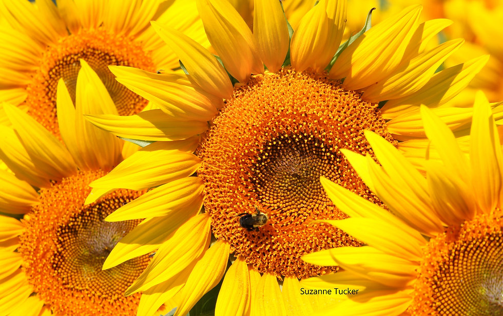 Suzanne Tucker - sunflower with smaller