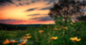 Sunil tree black eyed susans_edited.jpg