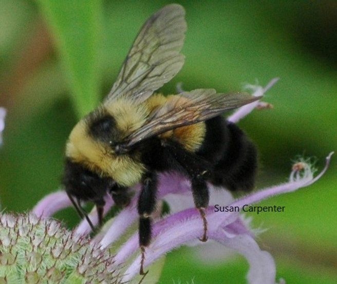 Susan Carpenter Bee credit 2.jpg