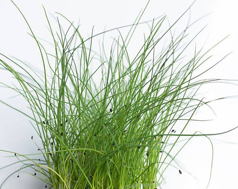 Chives, Thick Leaf