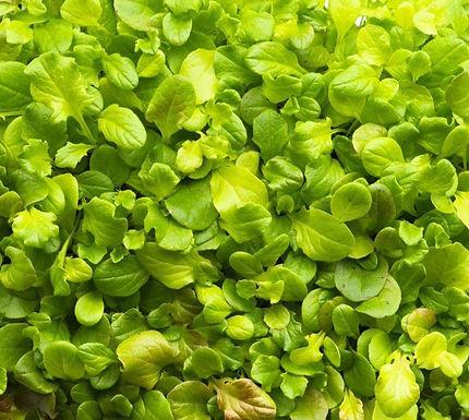 Salad Mix, Mesclum
