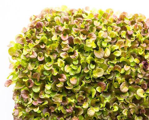 Lettuce, Red Batavia