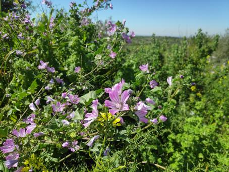 להוסיף קצת פרח לחיים - ליקוט פרחים אכילים