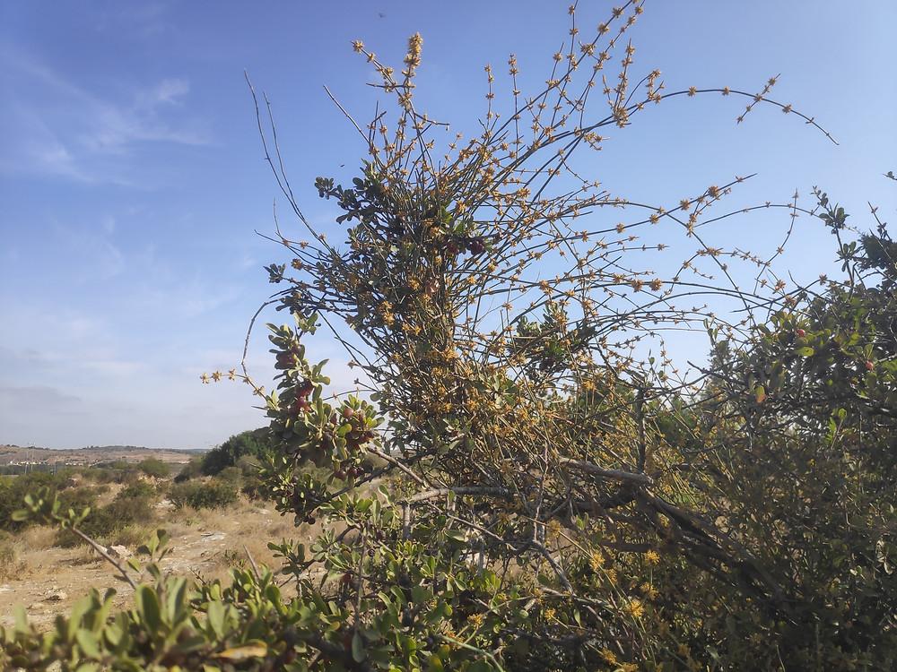 שרביטן בזמן פריחה מטפס על אשחר בגבעות במודיעין