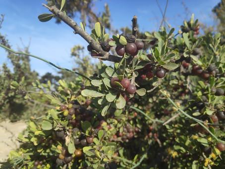 הפרי המנומר - אשחר ארץ ישראלי