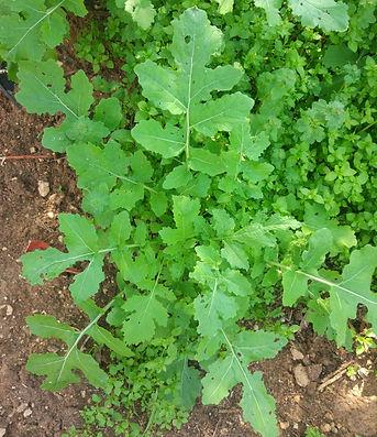 צמח חרדל בוגר לפני פריחה