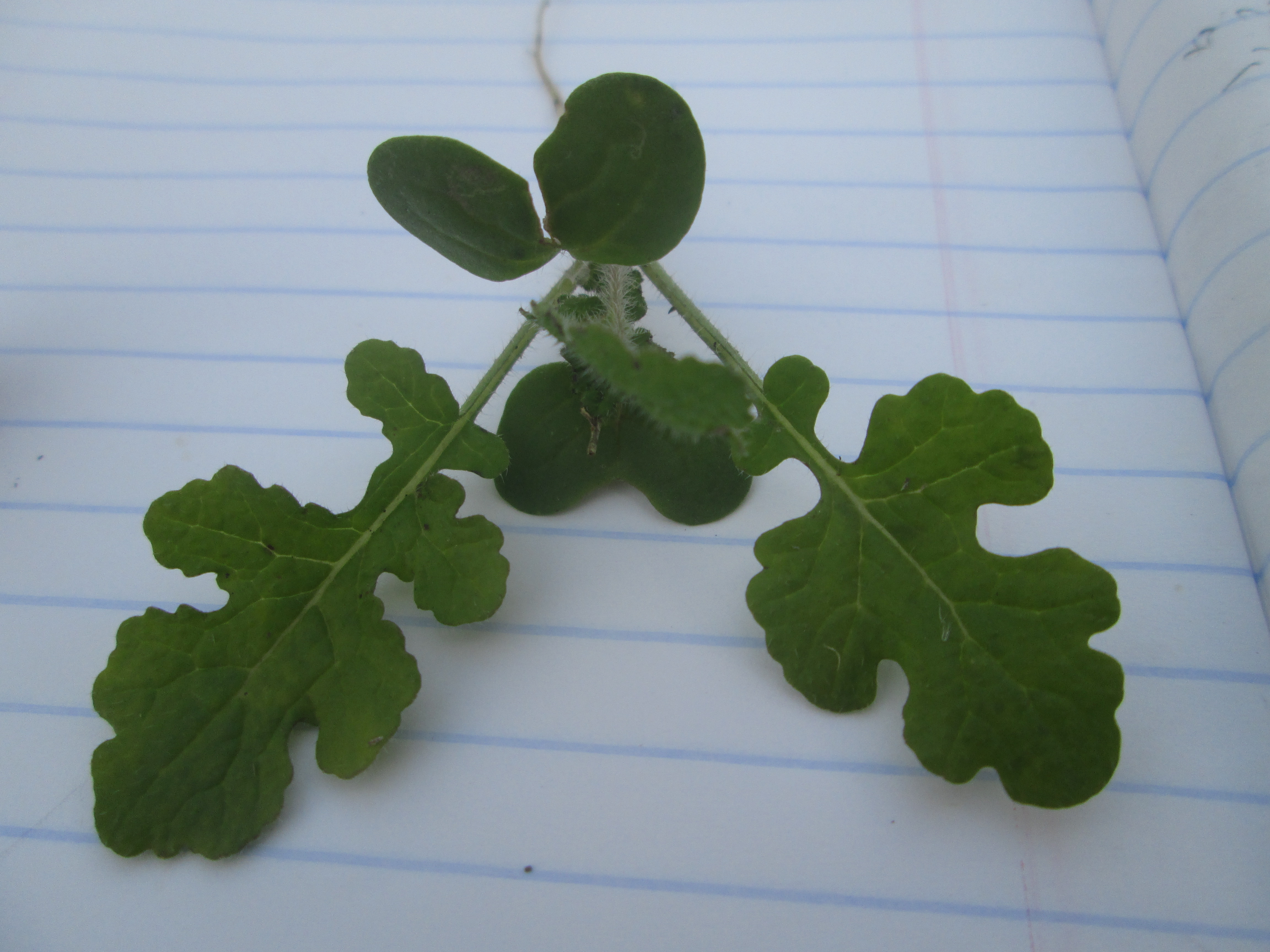 צמח חרדל צעיר עם נבט