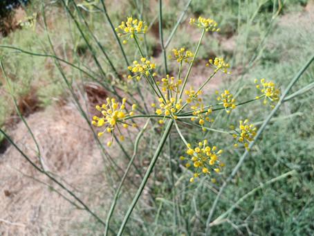 6 דברים שאפשר לעשות עם פרחי שומר