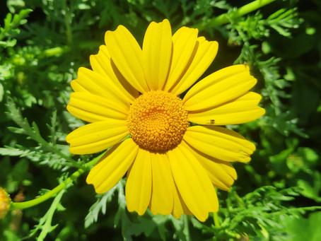 רגע לפני הפריחה -  ליקוט חרצית