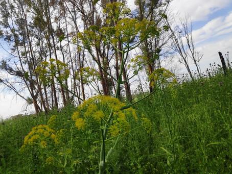 חוש הריח וסוככים צהובים באביב