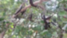פירות חרובים בנוף העץ