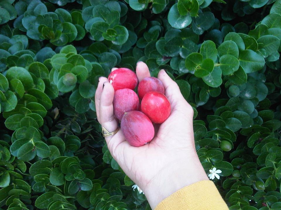פירות קריסה גדולת פרי