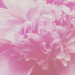 colleen vandenberg | peony