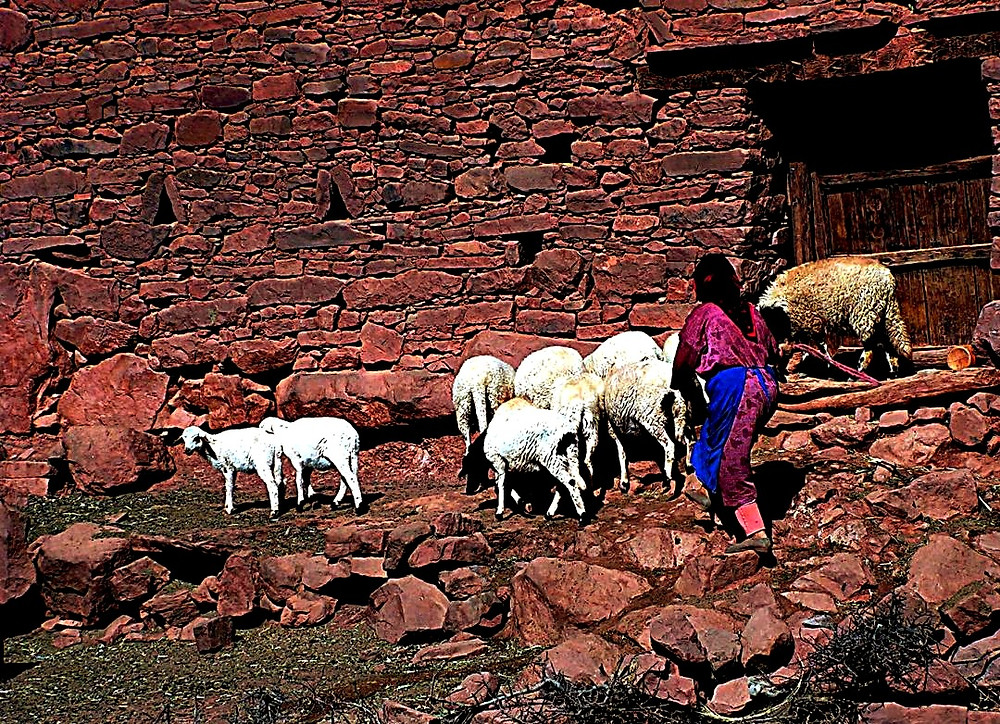 Village woman with sheep, Atlas Mountains, Morocco