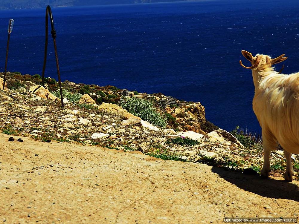 Sheep, road to Balos beach, north west Crete