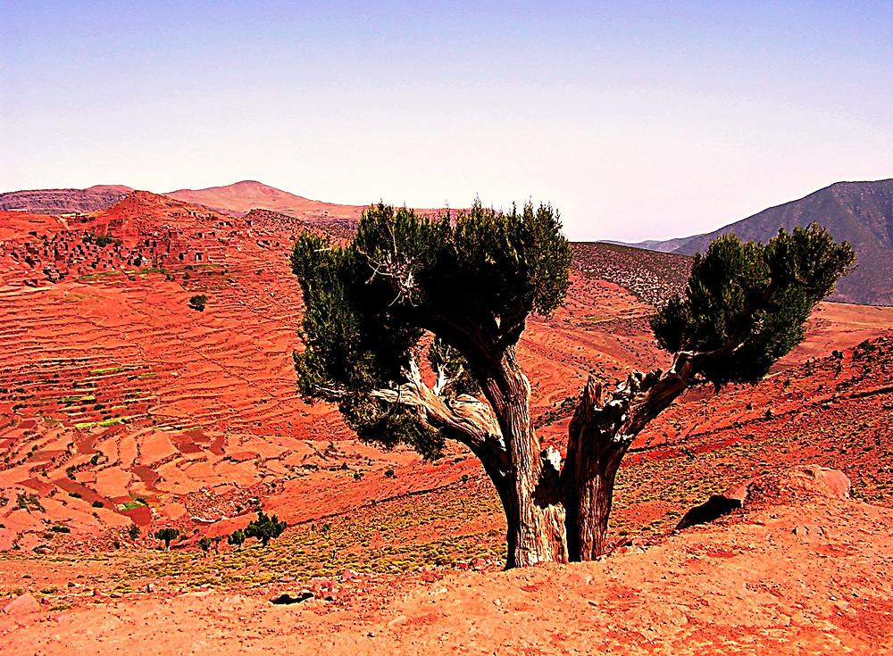 High Atlas tree, Morocco