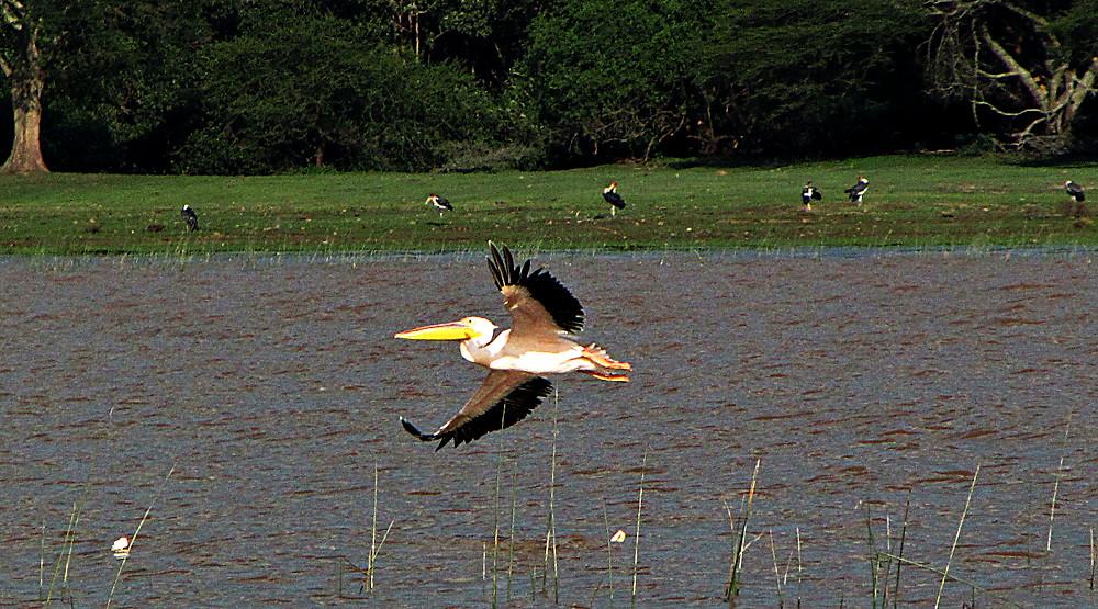 Pelicans at feeding time, Lake Langano, Ethiopia