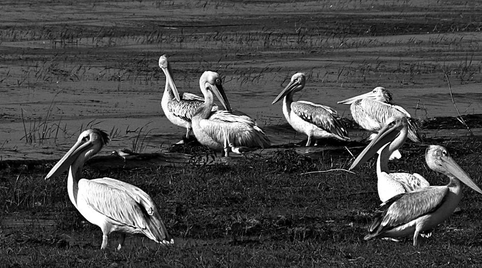 Pelicans at Lake Langano, Ethiopia