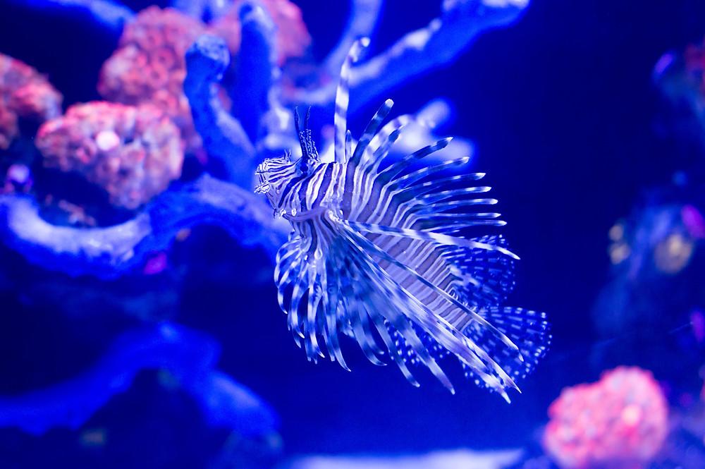 Lion fish, Coral reef, Red sea, Sinai, Egypt