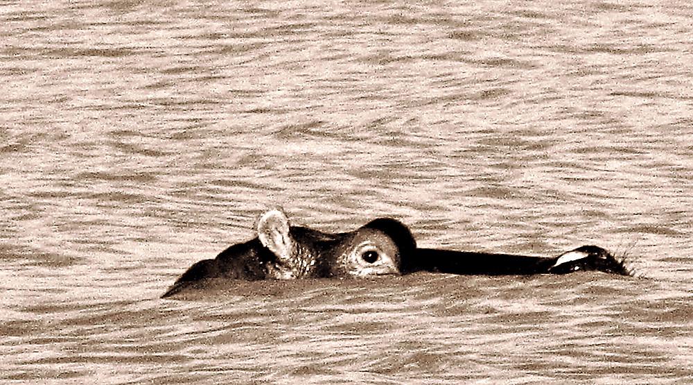 Hippo at Lake Langano, Ethiopia