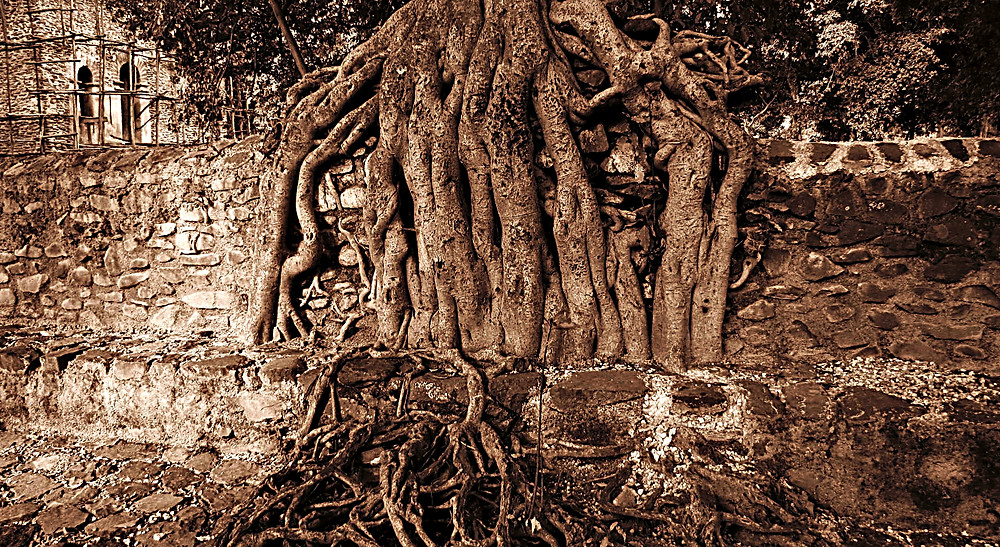 Tree roots at King Fasilada's Bath near Gondar, central Ethiopia