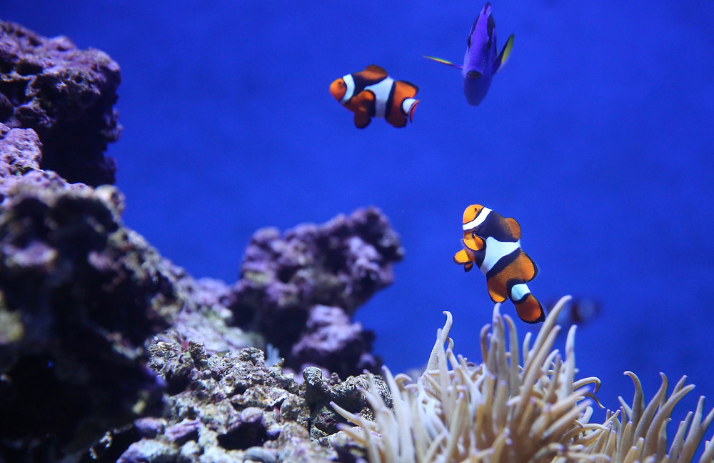 Clownfish in the Red Sea, Dahab, EFinding Nemo: Clownfish in the Red Sea, Dahab, Sinai, Egypt