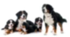 הפריה מלאכותית כלבים