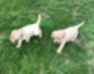 labrador pups for sale in Indiana