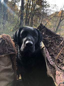 Black lab stud