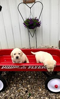 southern Indiana labrador puppies