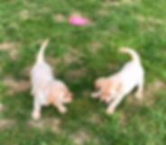 yellow labrador puppies in indiana
