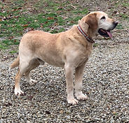 Yellow labrador male