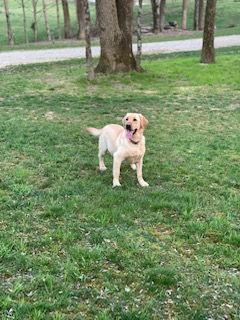 Female Labrador Retreiver