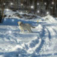 Labrador Retriever Stud