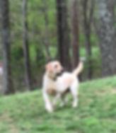 Female yellow Labrador