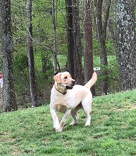 Female yellow Labrador