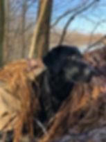 Black labrador stud
