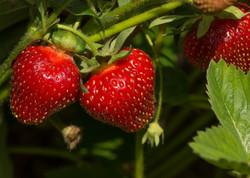 strawberries-9243