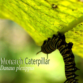 MonarchCaterpillar.jpg