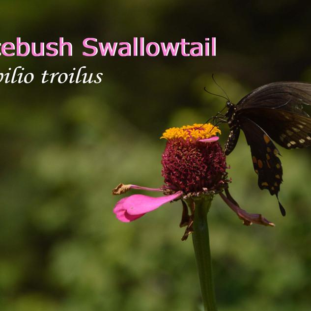 SpicebushSwallowtail.jpg