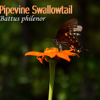 PipeVineSwallowtail.jpg