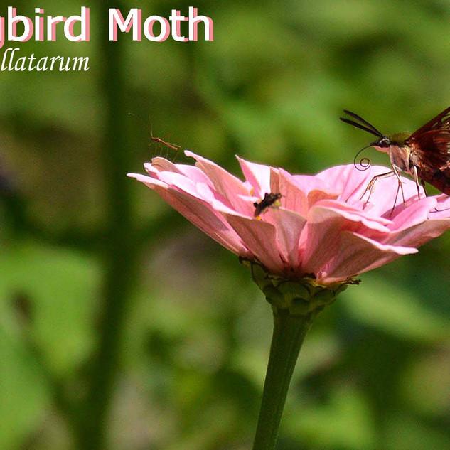 HummingbirdMoth.jpg